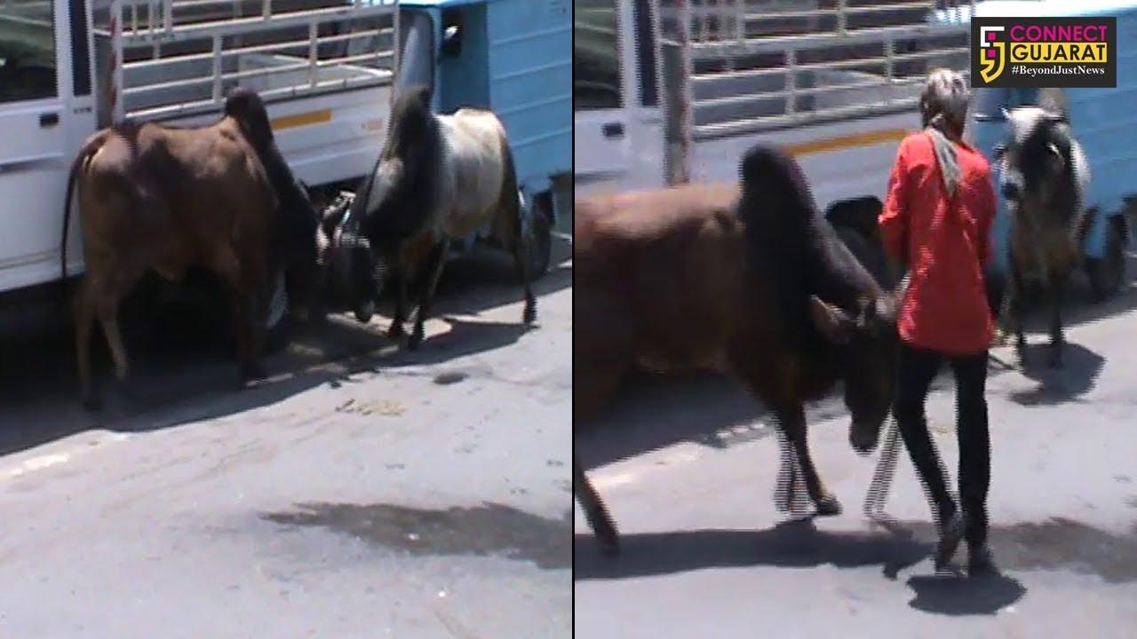 ભાવનગર: જાહેર માર્ગ ઉપર બે આખલાઓએ મચાવ્યો આતંક : ૧ને ઇજા
