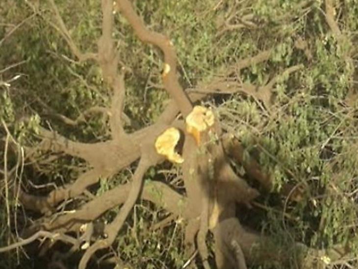 જૂનાગઢ:અમરેલી જિલ્લા બાદ ચંદનચોર ગેંગ ગિર જંગલમાં સક્રિય