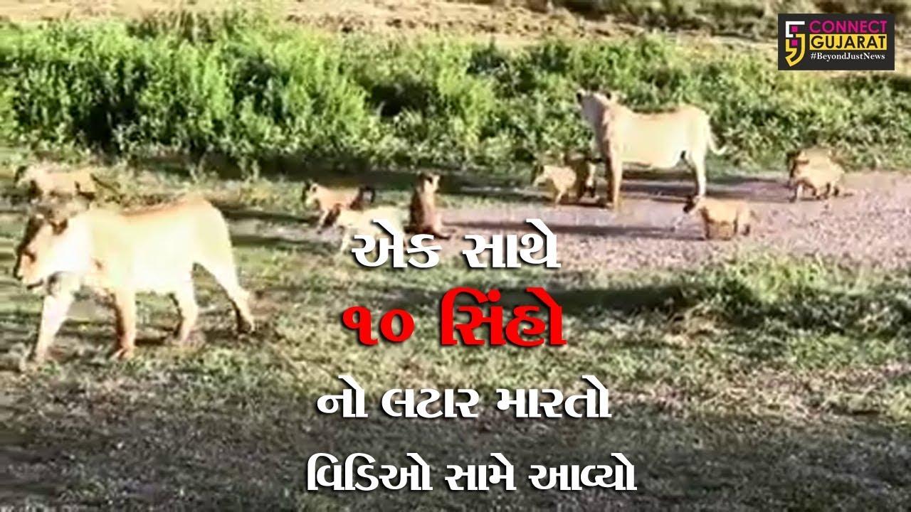 જુનાગઢ: એક સાથે ૧૦ સિંહો નો લટાર મારતો વિડિઓ સામે આવ્યો