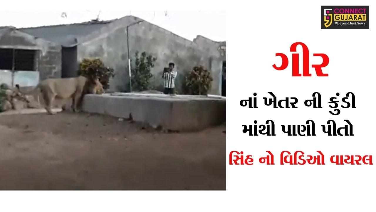 ગીરના ખેતરની કુંડી માંથી પાણી પીતો સિંહનો વિડીયો વાઇરલ