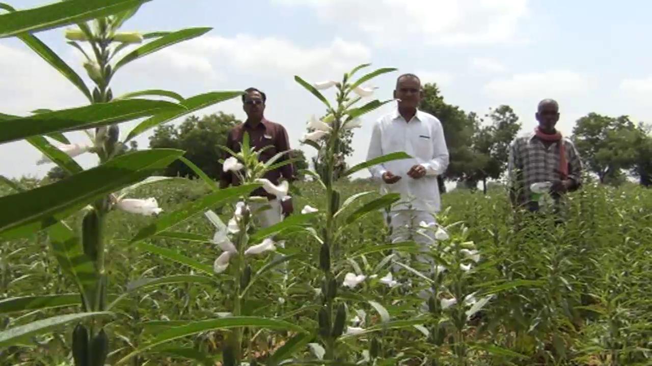 ઉત્તર ગુજરાતમાં સૌપ્રથમવાર ઉનાળુ ખેતીમાં કાળા તલની સફળ ખેતી કરતા અરવલ્લી જિલ્લાના પ્રગતિશીલ ખેડૂતો
