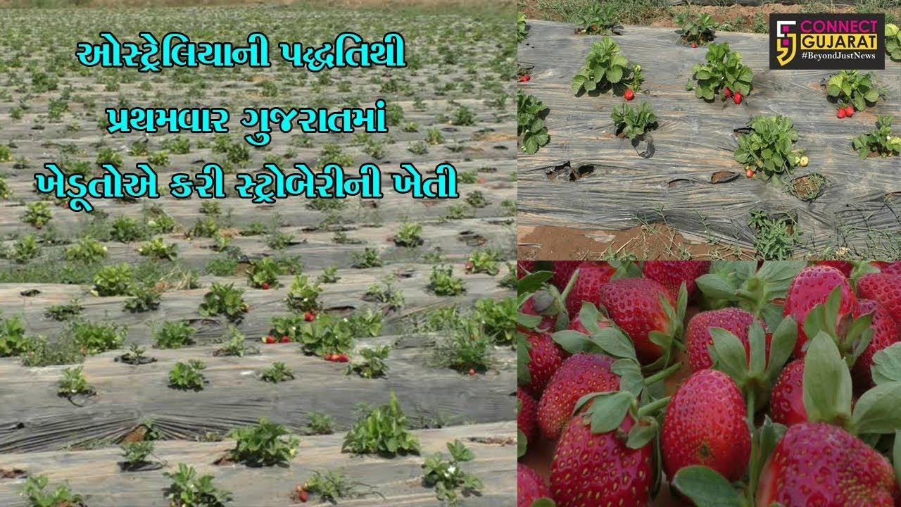 મહેસાણા: ઓસ્ટ્રેલિયાની પદ્ધતિથી પ્રથમવાર ગુજરાતમાં ખેડૂતોએ કરી સ્ટ્રોબેરીની ખેતી, મેળવી મબલખ આવક