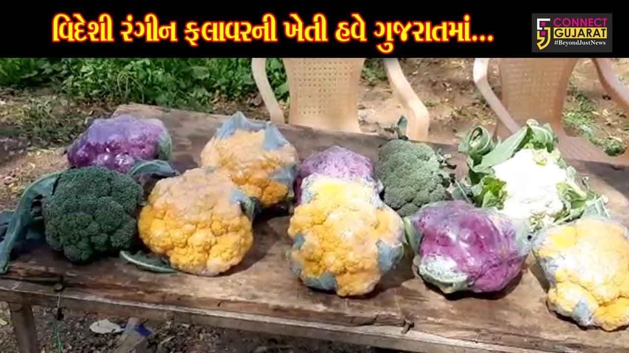 સાબરકાંઠા : ગુજરાતમાં સૌપ્રથમ વાર પ્રાંતિજના ખેડૂતે કરી રંગીન ફલાવરની ખેતી, લોકોમાં સર્જાયું કુતૂહલ